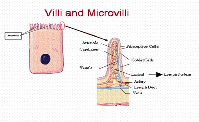 Microvilli