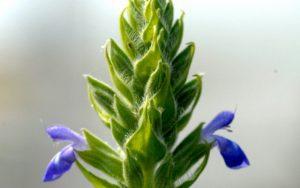 chia kwiat